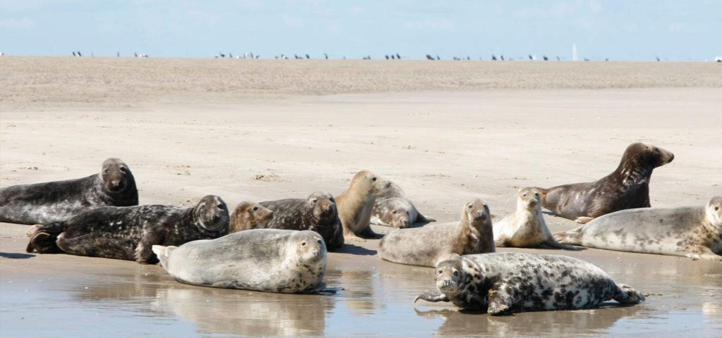 Zeehonden spotten op Vlieland - Westcord Hotels